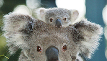 Billabong Koala and Wildlife Park - Tourism Guide