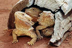 Alice Springs Reptile Centre - Tourism Guide