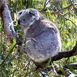 Koala Conservation Centre - Tourism Guide